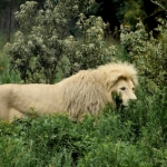 lion-in-the-bush-white-sm